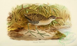 game_birds-01215 - Brown-cheeked Rail