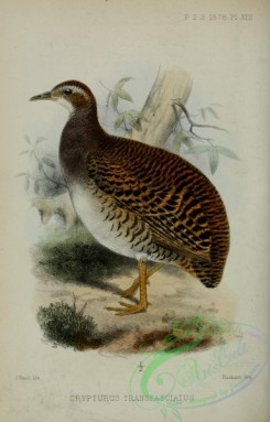 game_birds-01261 - Pale-browed Tinamou, crypturus transfasciatus