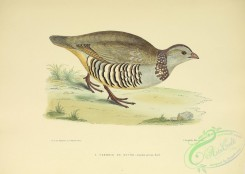 game_birds-01278 - Barbary Partridge, caccabis petrosa