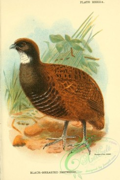 game_birds-01299 - Black-breasted Partridge