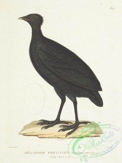 game_birds-01315 - Dusky Megapode