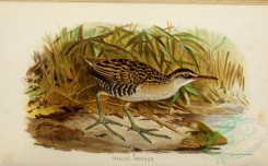 game_birds-01325 - Brown-cheeked Rail
