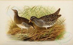 game_birds-01338 - Spotted Crake