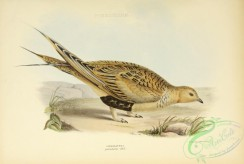 game_birds-01401 - Pallas's Sandgrouse