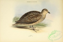 game_birds-01405 - Rufous-bellied Seedsnipe (latreillii)
