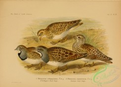 game_birds-01407 - D'Orbigny's Seed-Snipe, Common Seed-Snipe, thinocorus orbignyanus, thinocorus rumicivorus
