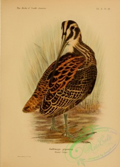game_birds-01408 - Giant Snipe, gallinago gigantea