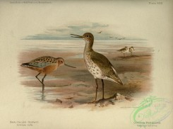 game_birds-01416 - Bar-tailed Godwit, Common Redshank, limosa rufa, totanus calidris