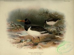game_birds-01424 - Common Oyster-catcher, haematopus ostralegus