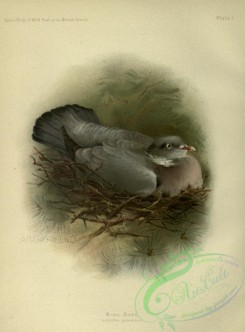 game_birds-01448 - Ring Dove, columba palumbus