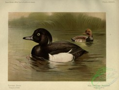 game_birds-01453 - Tufted Duck, Red-crested Pochard, fuligula cristata, netta rufina