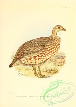 game_birds-01482 - Buttikofer's Francolin, francolinus jugularis