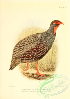 game_birds-01514 - Northern Red-necked Francolin, pternistes nudicollis castaneiventer