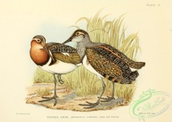 game_birds-01517 - Painted Snipe, rostratula capensis
