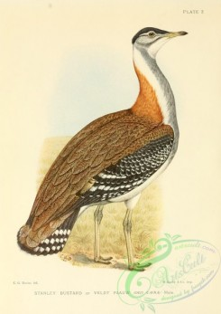 game_birds-01531 - Stanley Bustard or Veldt Paauw, otis cafra