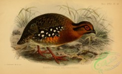 game_birds-01543 - bambusicola erythrophrys