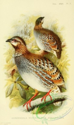 game_birds-01546 - arboricola rufogularis annamensis