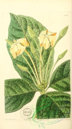 gardenia-00024 - 1952-gardenia pannea, Cloth-leaved Gardenia