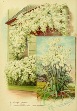 gardens-00037 - Clematis, Paniculata, Recta, Yucca or Adams Needle (Yucca filamentosa) in garden on wall [1957x2821]