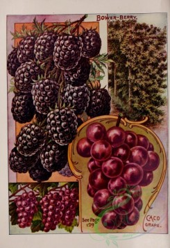 grapes-00010 - 051-Bower-berry, Blackberry, Grapes [3132x4557]