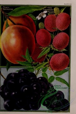 grapes-00011 - 025-Strawberry, Grapes, Peach [3159x4731]