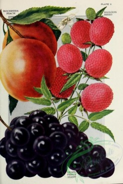 grapes-00014 - 017-Peach, Balloon Berry, Grapes [2223x3335]