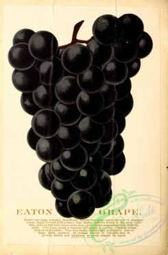 grapes-00033 - 061-Grape [3054x4619]