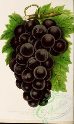 grapes-00040 - 019-Grape [1912x3184]