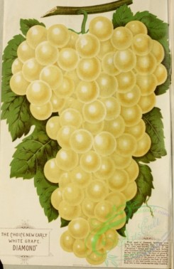 grapes-00041 - 065-Grape [2781x4286]