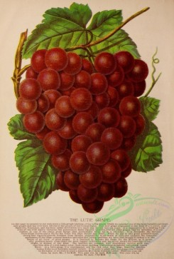 grapes-00043 - 006-Grape [3130x4626]