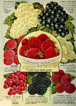 grapes-00073 - 079-Strawberry, Grapes, Gooseberry, Raspberry, Currant [2576x3609]