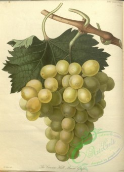 grapes-00117 - Cannon Hall Muscat Grape [3348x4636]