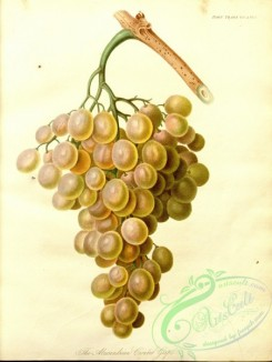 grapes-00118 - Alexandrian Cioutata Grape [3239x4304]