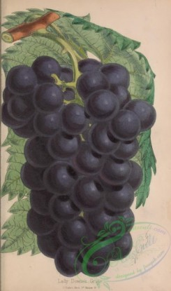 grapes-00122 - Lady Downe's Grape [2316x3922]