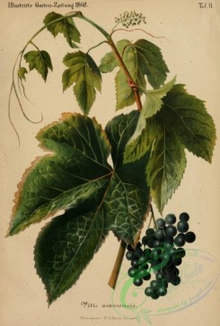 grapes-00149 - vitis amurensis,  Amur grape [2622x3876]