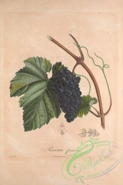 grapes-00154 - Muscat, Grapes, 11 [3433x5143]