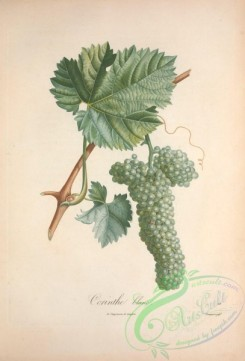 grapes-00156 - Muscat, Grapes, 13 [3490x5143]