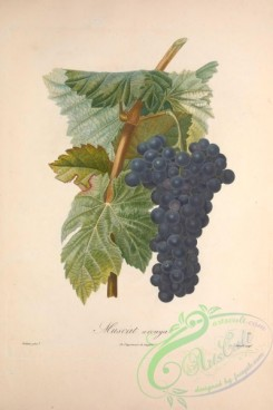 grapes-00158 - Muscat, Grapes, 3 [3433x5143]