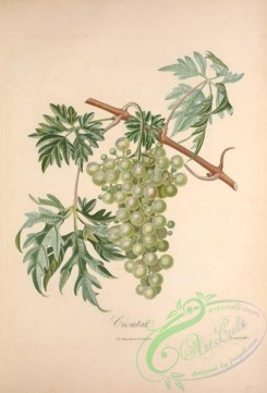 grapes-00161 - Muscat, Grapes, 6 [3490x5143]
