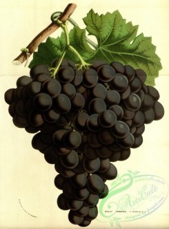 grapes-00166 - muscat hamburgh, Black Muscat Grapes [3695x4988]