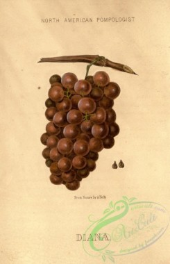 grapes-00169 - Diana Grape [1882x2916]