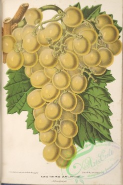 grapes-00181 - Royal Vineyard Grape [3967x5974]
