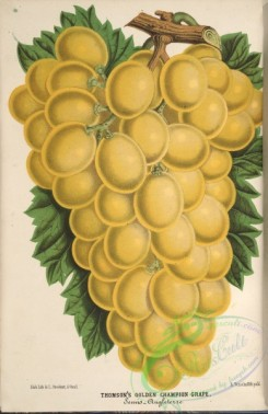 grapes-00182 - Thomson's Golden Champion Grape [3830x5901]