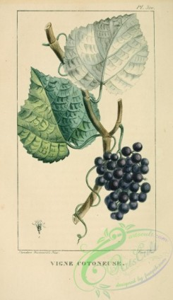 grapes-00194 - Grape [2109x3638]