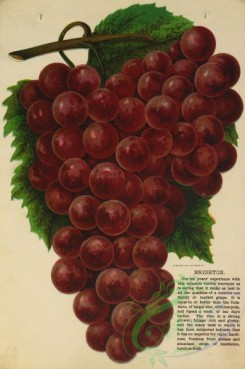 grapes-00489 - 054-Grape