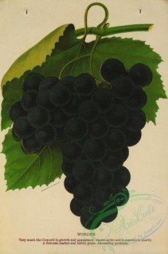 grapes-00491 - 056-Grape, 3