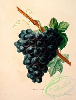 grapes-00506 - Black Grapes