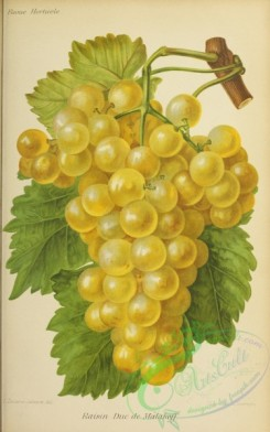 grapes-00511 - Grape