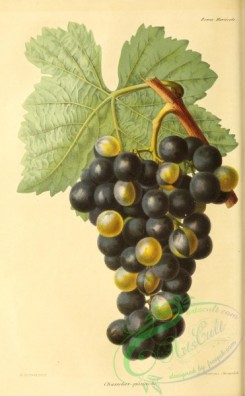 grapes-00516 - Grape