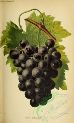 grapes-00520 - Grape, 3